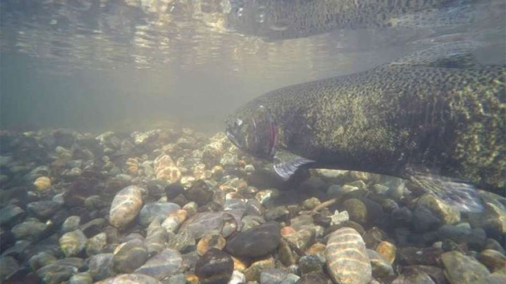 2019 salmon population forecast: It doesn't look good | KOMO