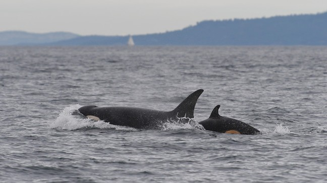 Photos: Researchers get new pics of baby orca frolicking in