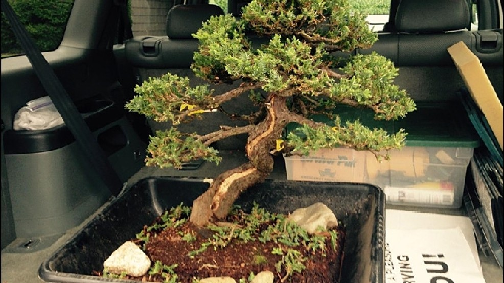 Museum S Stolen Bonsai Tree Recovered But Severely Pruned Komo